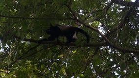 Wyjec małpa w drzewo wierzchołku zdjęcie wideo