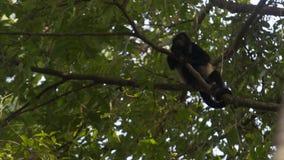 Wyjec małpa w drzewo wierzchołku zbiory wideo