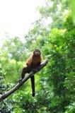 wyjec małpy czerwień Zdjęcie Royalty Free