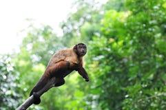 wyjec małpy czerwień Obraz Royalty Free