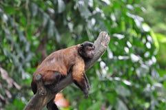 wyjec małpy czerwień Fotografia Stock