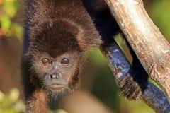 Wyjec małpa Nikaragua Obrazy Stock