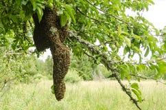 wyjechała gałęziasta rodzinna mieszkaniowa fly stworzyć pszczół pszczół zrozumień nowe części owadów rój czasu quiverful drzewo,  Zdjęcia Royalty Free