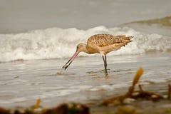 wykładać marmurem plażowy godwit Zdjęcia Royalty Free