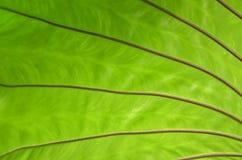 Wykłada i wzór zielona paprociowa liść tekstura Obrazy Stock