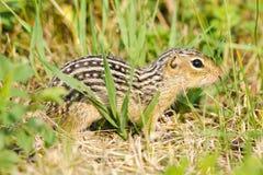 Wykładająca zmielona wiewiórka (Ictidomys tridecemlineatus) Zdjęcie Stock