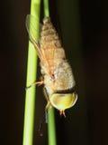 Wykładający Horsefly (Atylotus rusticus). Makro- zdjęcia stock