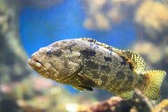 Wykładający marmurem grouper Fotografia Stock