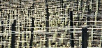 wykłada winniców druty Obrazy Stock