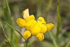 wyka kwiat wyka Zdjęcia Stock