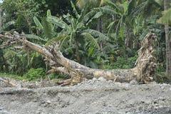 Wykorzeniający drzewo przy Mal riverbank, Matanao, Davao Del Sura, Filipiny zdjęcia stock