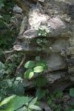 Wykorzeniający drzewo z bluszczem zdjęcie stock