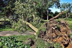 wykorzeniający huraganowy drzewo zdjęcia stock