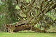 Wykorzeniający drzewo Obrazy Royalty Free