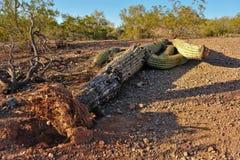 wykorzeniający kaktusowy saguaro Fotografia Royalty Free