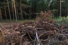 Wylesienie, drzewa i gałąź ciący puszek, buk lasem jest Bulgaria ci?cym zniszczenia puszka notuje halnego pirin obrazy stock