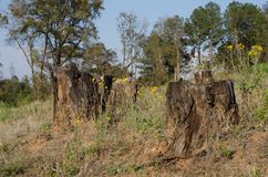 Wylesienie drzewni fiszorki Fotografia Stock