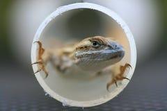 wylotowa płotowa wielka jaszczurka obraz stock