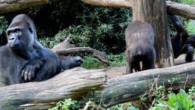 Wymagający młody goryl zbiory
