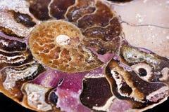 Wymarły morski bezkręgowiec, amonit obraz stock