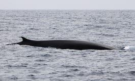 Wymuskany żebro wieloryb Obrazy Stock