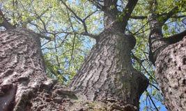 Wynika Potrójny Dębowy drzewo w wiośnie Obraz Royalty Free