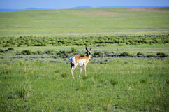 Wyoming Antelope Stock Images