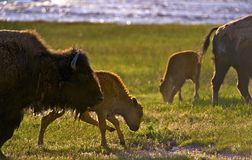 Wyoming Bisons Royalty Free Stock Photo