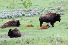 Wyoming buffalo roam. Three buffalo and calves meander in field royalty free stock image