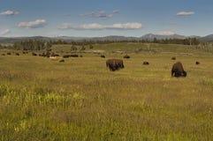 Wyoming buffel Royaltyfri Foto