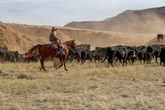 Cowboys Moving the Herd