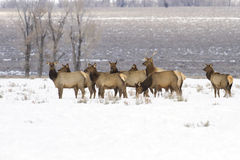 Wyoming Elk Herd Royalty Free Stock Photo