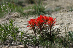 Wyoming Paintbrush With White Stock Image