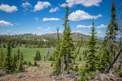 Wyoming Pine Forest Royalty Free Stock Photos