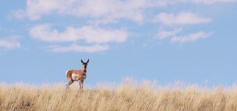 A Wyoming pronghorn antelope. Royalty Free Stock Photo