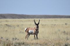 Wyoming-pronghorn Antilopendollar stockfotos