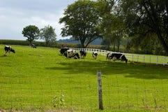 wypas krów zdjęcie stock