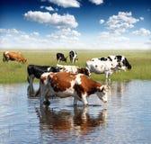 wypas krów Obrazy Royalty Free