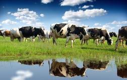 wypas krów Fotografia Stock