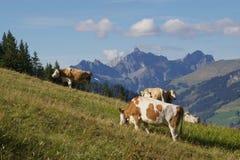 wypas krów Zdjęcia Royalty Free