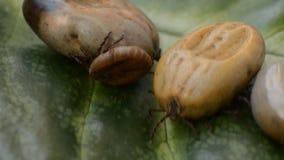 Wypełniający kleszczowy czołganie na zielonym liściu zbiory