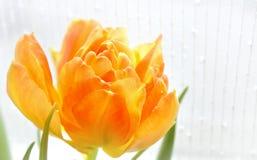 Wypełniający tulipan Zdjęcia Stock