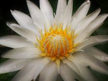 Wypięknia lotosowego kwiatu Zdjęcia Royalty Free