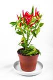 Wyprodukowany lokalnie czerwony chili pieprze zdjęcie royalty free