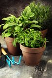 Wyprodukowany lokalnie i aromatyczni ziele w starych glinianych garnkach Set Kulinarni ziele Zielona narastająca mędrzec, oregano Fotografia Stock