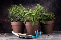 Wyprodukowany lokalnie i aromatyczni ziele w starych glinianych garnkach Set Kulinarni ziele Zielona narastająca mędrzec, oregano Fotografia Royalty Free