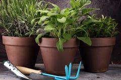 Wyprodukowany lokalnie i aromatyczni ziele w starych glinianych garnkach Set Kulinarni ziele Zielona narastająca mędrzec, oregano Obraz Royalty Free