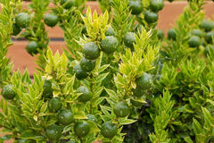 Wyprodukowany lokalnie Kumquat, Cumquat Chinoti rośliny cytrusa japonica z Obraz Stock