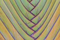 Wyróżniający fan kształtujący liście podróżnik palma ma lub Ravenala obraz stock