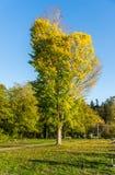 Wyróżniający jesieni drzewo 6 obrazy royalty free